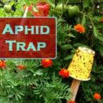 Control de áfidos: ¿funcionan las trampas adhesivas amarillas?