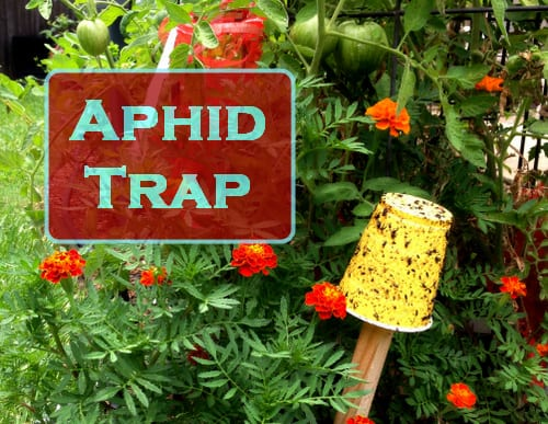 Aphid Control - Do Yellow Sticky Traps Work?, photo source: The Fervent Gardener