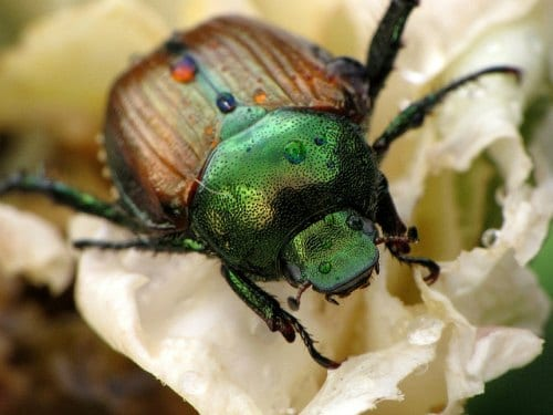 Japanese Beetle - Compost Controls Pests