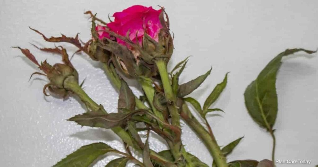 Knock-Out Roses remain vulnerable to rose rosette disease