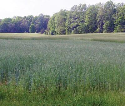 cultivo de cobertura de trigo sarraceno