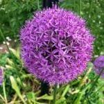 Plantar bulbos de flores de primavera