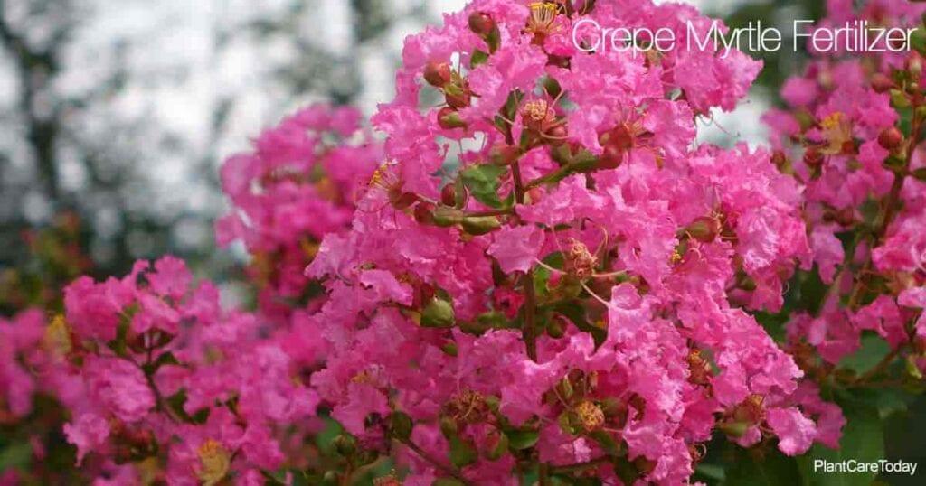 Los coloridos árboles de Myrtle Crepe necesitan fertilizante para obtener más flores