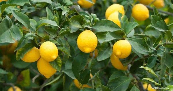 limones listos para cosechar y hacer limonada