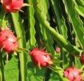 Cuidado de la flor de la fruta del dragón: todo sobre el cultivo de pitaya