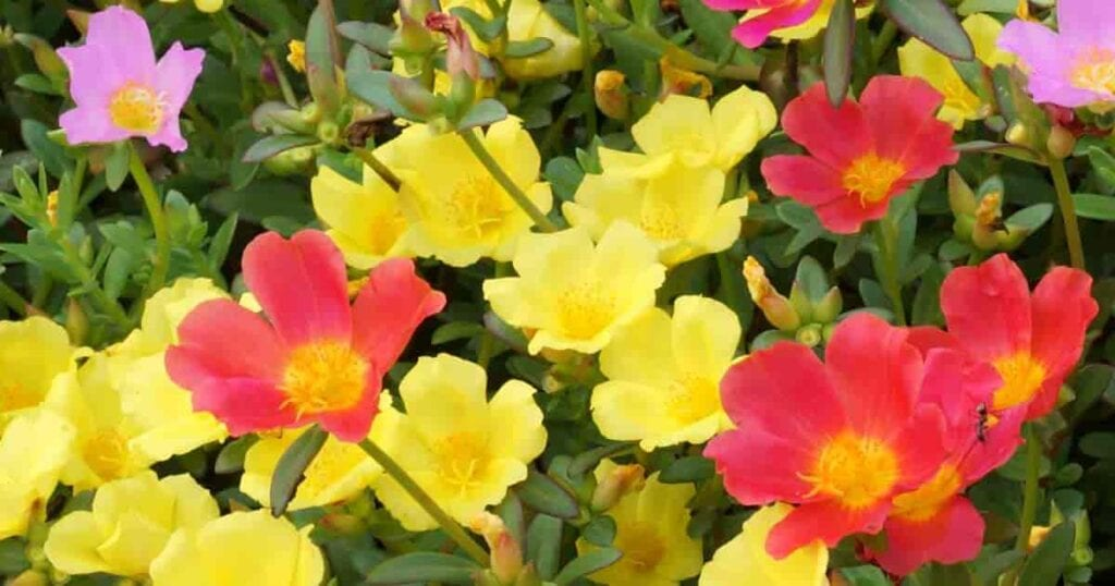 Assorted colors of Portulaca flowers