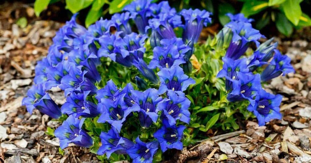 blooming gentian flower