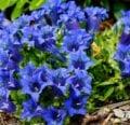Cuidado de las flores de genciana: cómo cultivar gencianas.