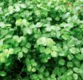 Cultiva un jardín de hierbas perennes