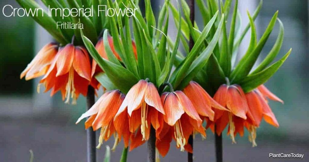 Upclose blooms of the Crown Imperial flower