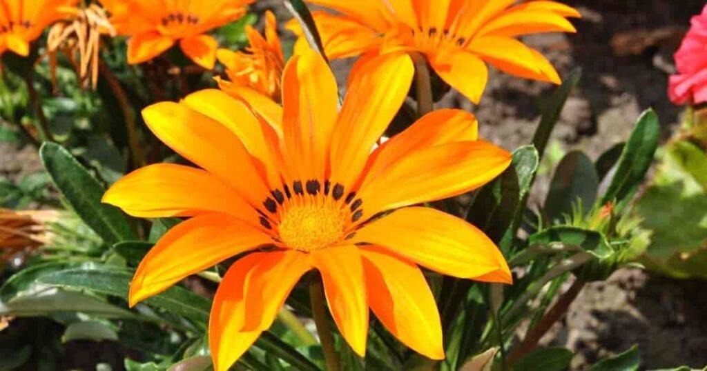 Blooming Gazania plant the orange treasure flower