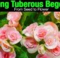 Cultivo de begonias tuberosas de semilla a flor -