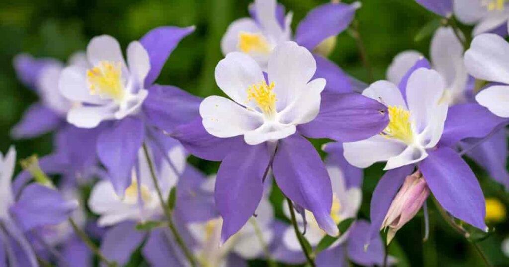 beautiful Columbine flowers the Colorado state flower up close -