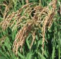 Cultivo, uso y almacenamiento de cultivos básicos - Parte 2