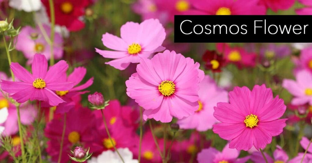 pink daisy-like cosmos flower up close