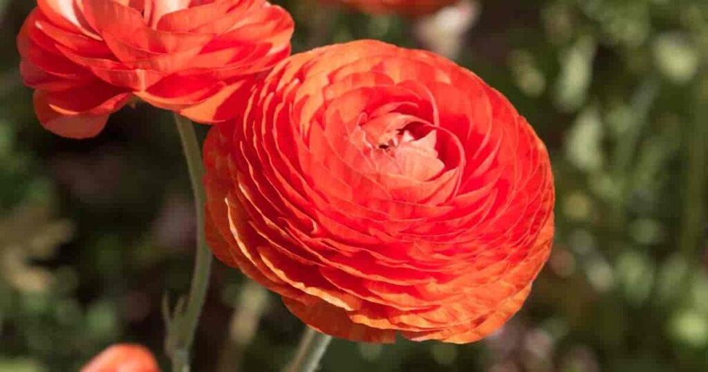 Orange Ranunculus flower unclose