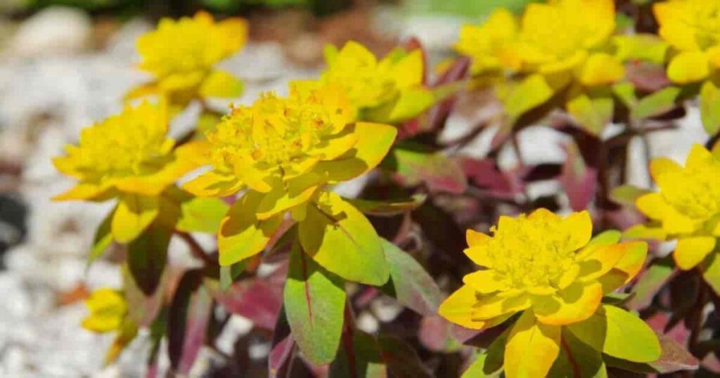 flowering Euphorbia polychroma