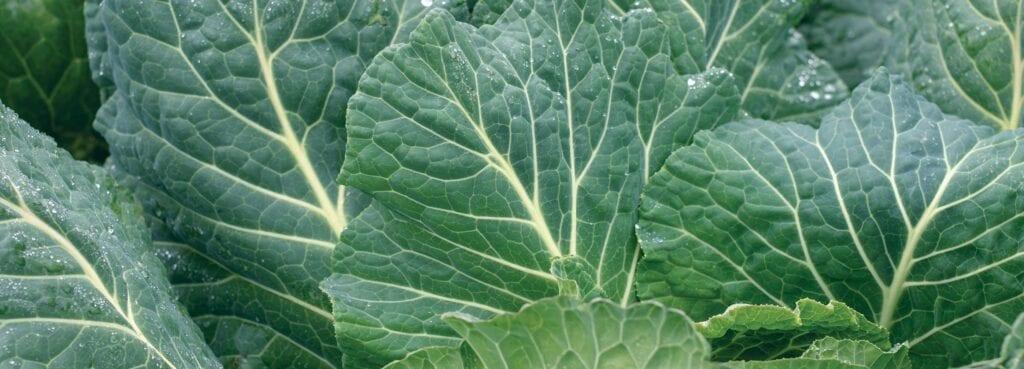 Datos sobre la col rizada y la col rizada - West Coast Seeds