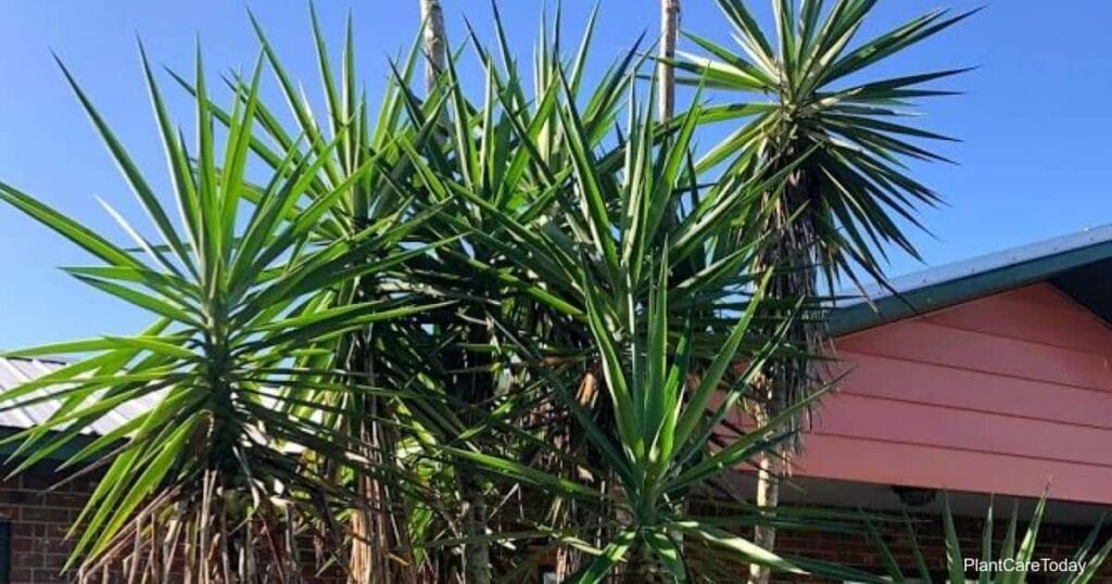 Large yucca plant in need of removal