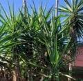 Deshacerse de su planta de yuca