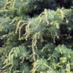 DuPont sabía que el herbicida Imprelis puede dañar los árboles ⋆ Great gardening blog