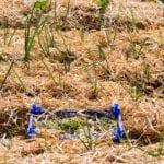 El método Ruth Stout para cultivar alimentos orgánicos ⋆ Gran blog sobre jardinería