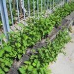 Eliminación de Knotweed japonés 101 ⋆ Great gardening blog