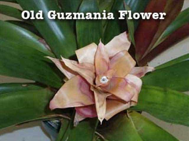 fading flower of a guzmania bromeliad
