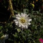 Excava dalias y gladiolos, prueba de suelo, planta ajo ⋆ Blog de gran jardinería