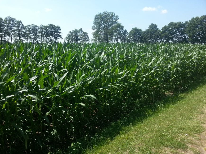 Excelentes incrementos de rendimiento en la prueba de maíz en 2015