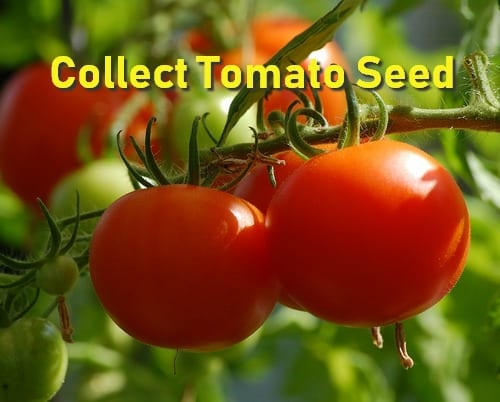 Tomato Seed Fermentation - Is it Required?