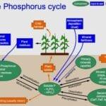 Fertilizante de fosfato de roca - Mitos del jardín