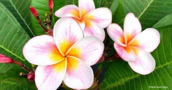 El mejor fertilizante con altos niveles de fósforo ayuda a crear flores de Plumeria como estas bellezas centrales rosadas y amarillas.