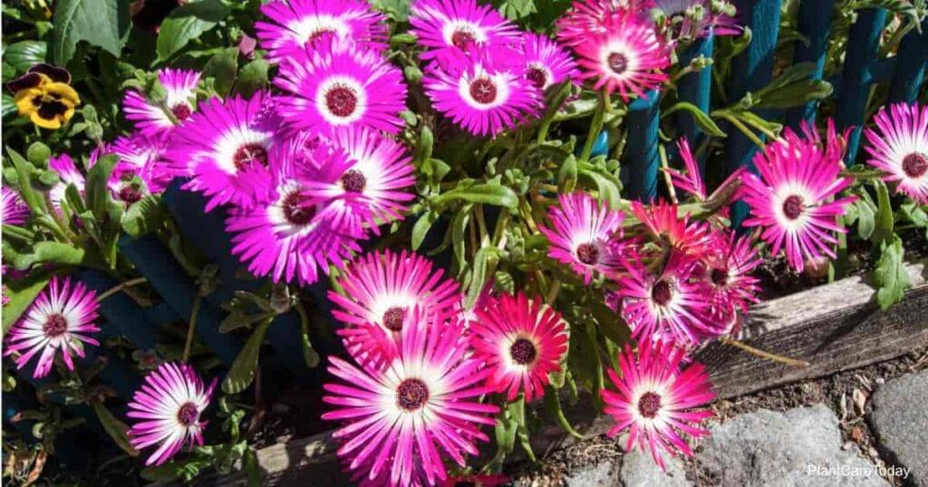 Mesembryanthemum - The beautiful Mid Day Flower
