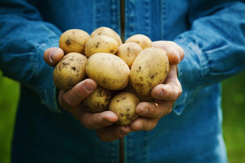 Cosecha de papa o papa orgánica en manos del agricultor en el jardín