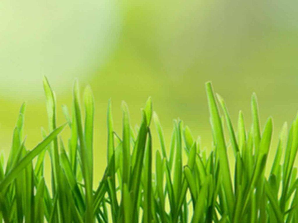 Guía para el cuidado del césped orgánico ⋆ Gran blog de jardinería