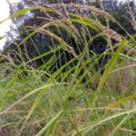 Guía para el cultivo de arroz |  Intercambio de semillas de exposición al sur