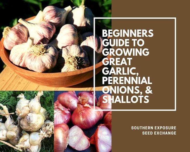 Guía para principiantes para cultivar ajo grande, cebollas perennes y chalotes