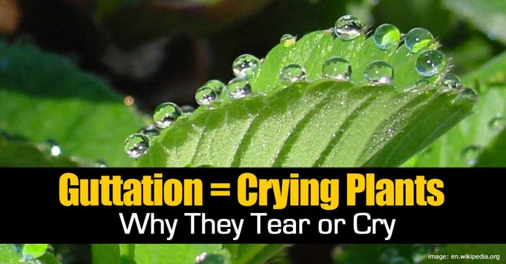 gutattion-crying-plants-093014