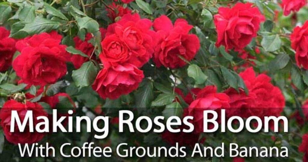 coffee-ground-roses-01312016