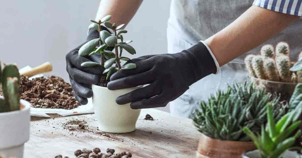 potting succulents with soil