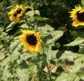 Herencias de las Américas |  Intercambio de semillas de exposición al sur