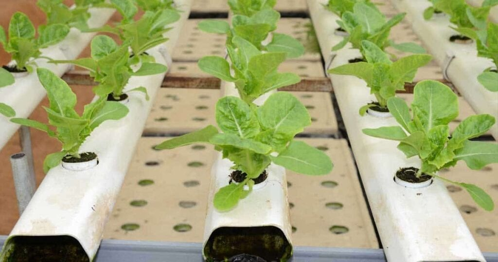 Hydroponic lettuce growing