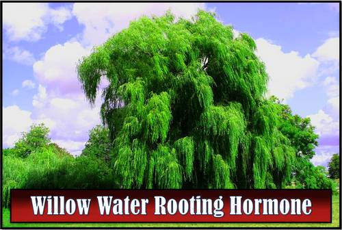 Willow Water Rooting Hormone - Does It Work?