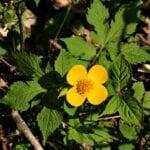 Hylomecon Japonica - ¿Cuál es la planta real?