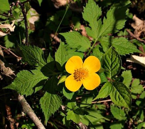 Hylomecon japonica flower