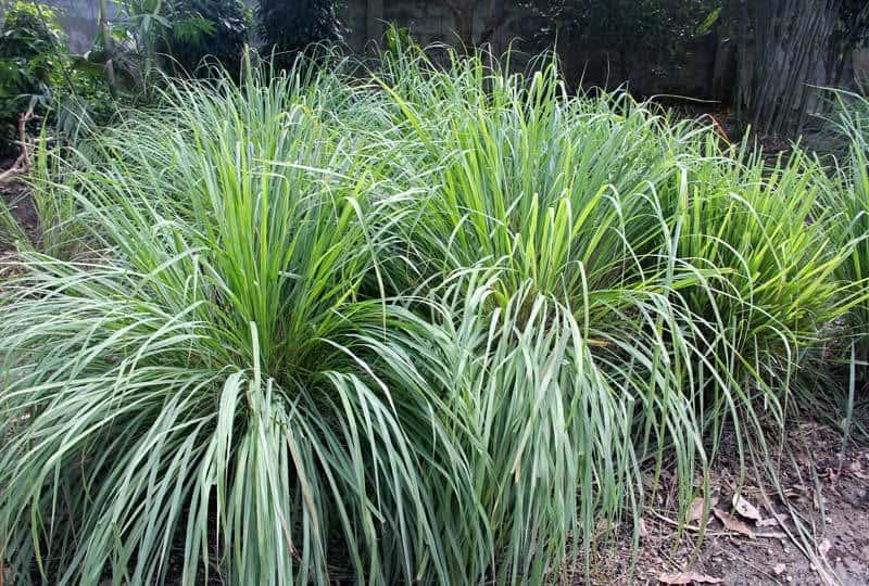 lemon-grass-low-maintenance-garden-08312015