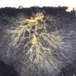 La importancia de los hongos micorrízicos