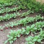 La importancia de ralear las plantas