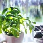 Las 6 mejores hierbas culinarias que nunca supiste que podrías cultivar en interiores durante la victoria